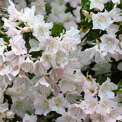 Azalea Apple Blossum
