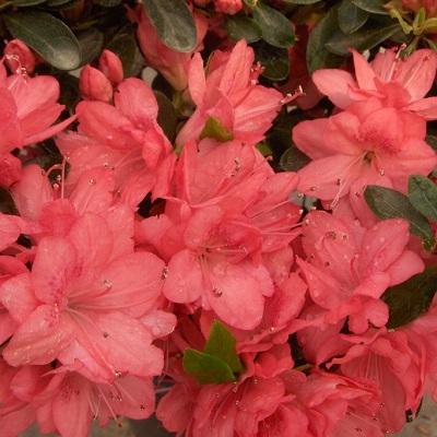 Azalea Blaauws Pink