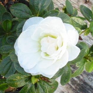 Azalea Bridal Bouquet