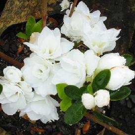 Azalea Gardenia Supreme