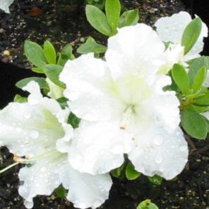 Azalea Gumpo White