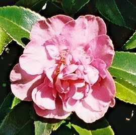 Camellia Jennifer Susan