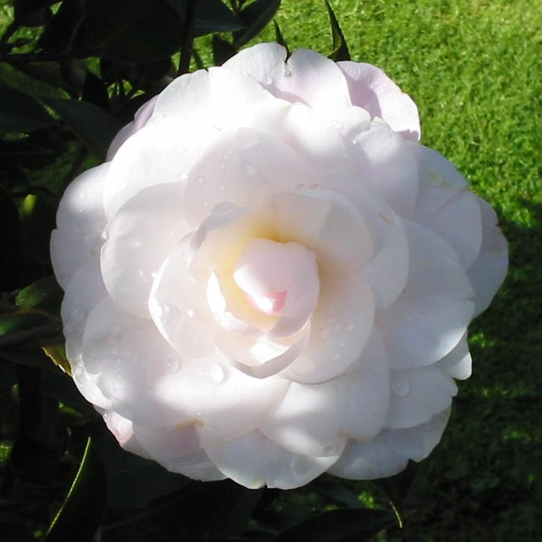 Camellia Softly