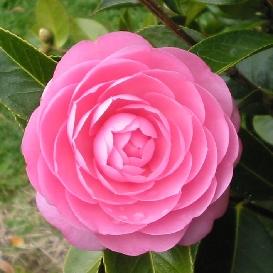 Camellia E.G Waterhouse