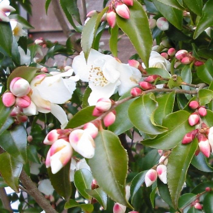 Camellia transnokoensis