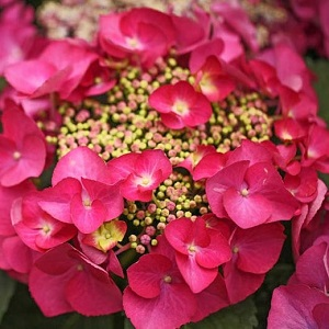 Hydrangea macrophylla Red Start