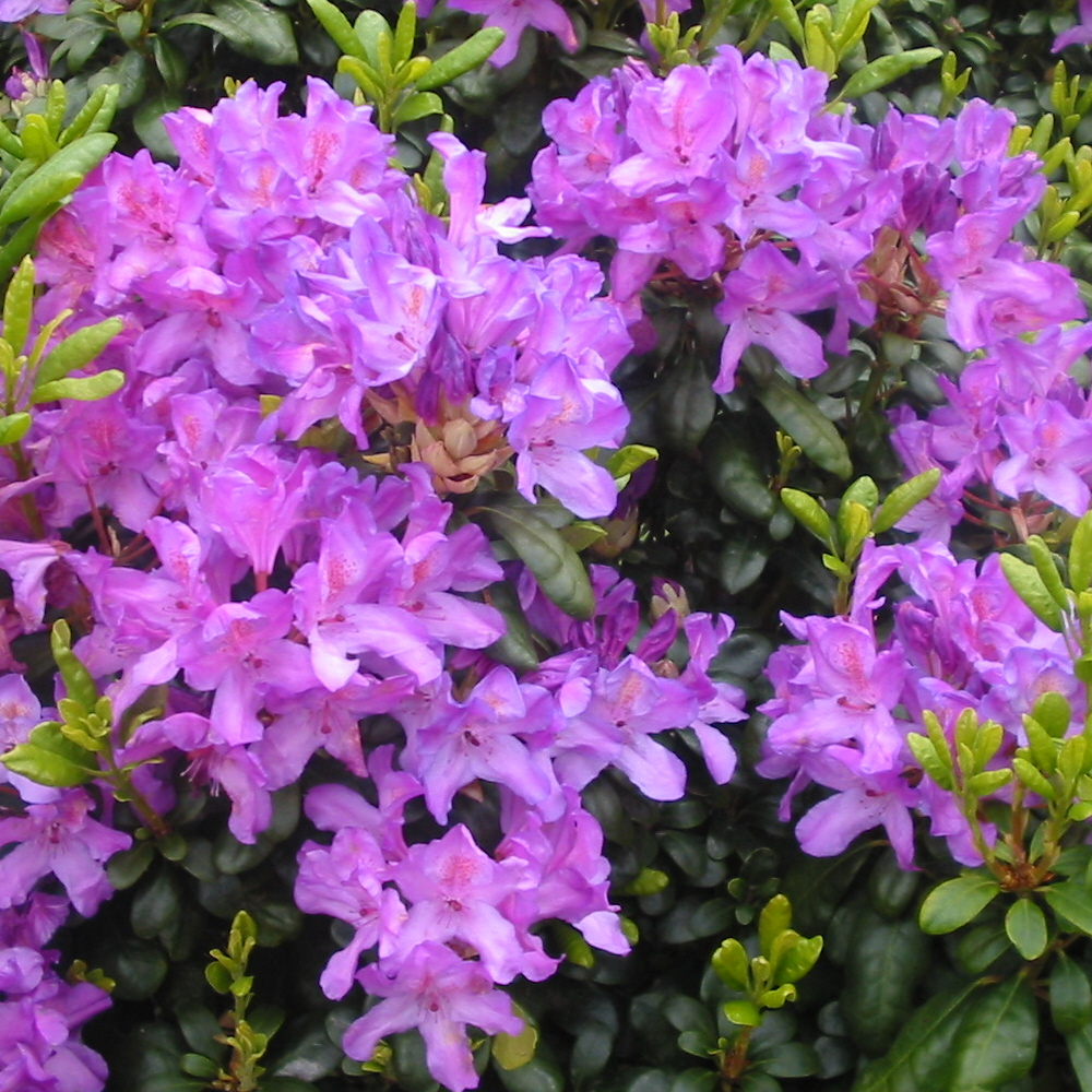 Rhododendron Daphnoides