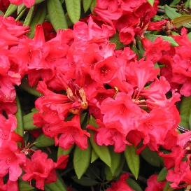 Rhododendron Gwilt-King