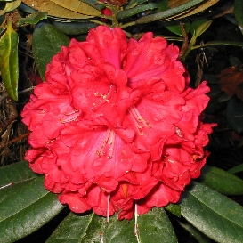 Rhododendron Rubicon